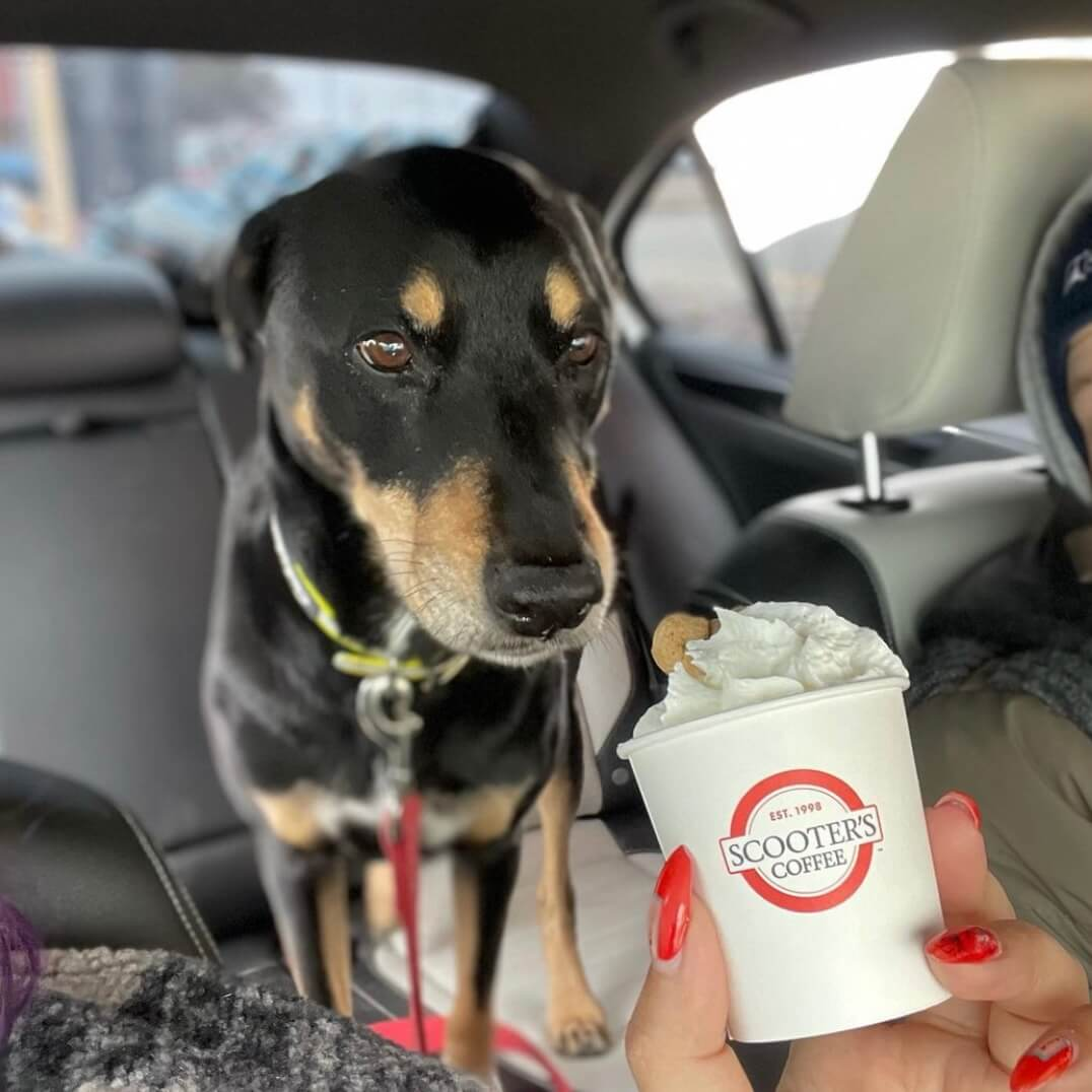 Dog in car looking at whipped cream in a pup cup